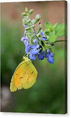 Yellow Butterfly On Blue Sage Canvas Print