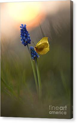 Yellow Butterfly On Grape Hyacinths Canvas Print