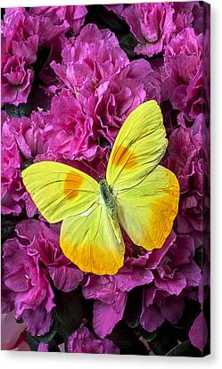 Yellow Butterfly On Pink Azalea Canvas Print by Garry Gay