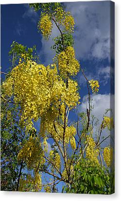 Yellow Cassia Canvas Print by Gordon  Grimwade