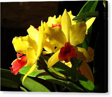 Yellow Cattleya Orchid Canvas Print by Alfred Ng