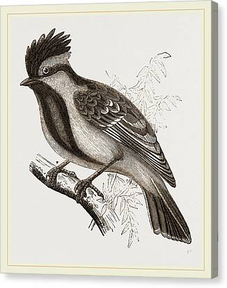 Yellow-cheeked Titmouse Canvas Print by Litz Collection