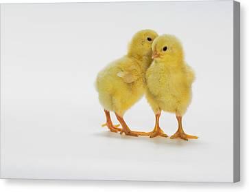Yellow Chicks. Baby Chickens Canvas Print by Thomas Kitchin & Victoria Hurst