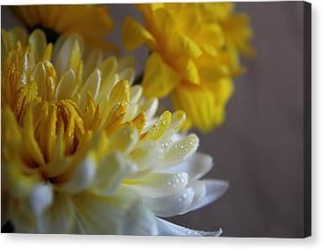 Yellow Chrysanthemum Canvas Print by Lynn Jordan