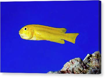 Yellow Clown Goby Or Okinawa Goby Canvas Print by Nigel Downer