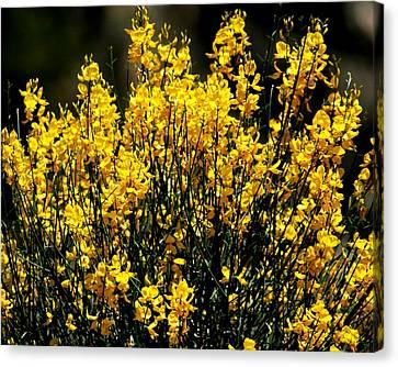 Yellow Cluster Flowers Canvas Print by Matt Harang