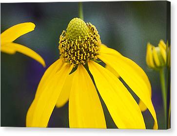 Yellow Cone Flower Rudbeckia Canvas Print by Rich Franco