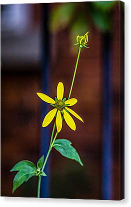 Yellow Coneflower Canvas Print by Steve Harrington
