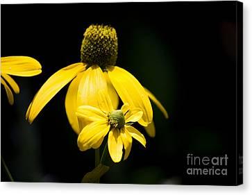 Yellow Coneflower Canvas Print
