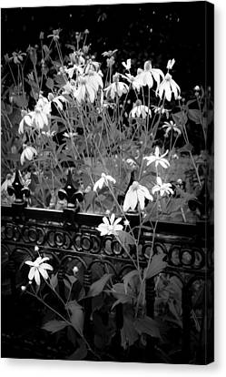 Yellow Coneflowers Echinacea Wrought Iron Gate Bw Canvas Print by Rich Franco