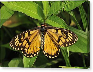 Yellow Coster Butterfly Manas Np India Canvas Print by Thomas Marent