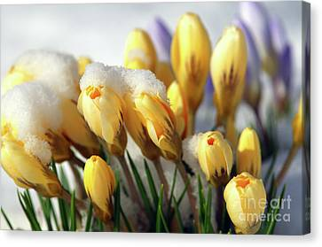 Yellow Crocuses In The Snow Canvas Print by Sharon Talson