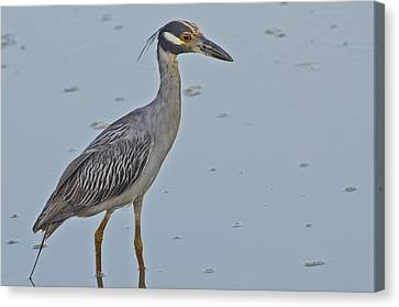 Yellow-crowned Night-heron - 2866 Canvas Print