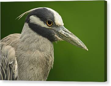 Yellow-crowned Night Heron Canvas Print by Bill Tiepelman