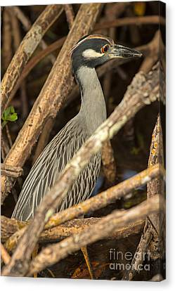 Jn Ding Darling National Wildlife Refuge Canvas Print - Yellow Crowned Night Heron Fishing by Natural Focal Point Photography