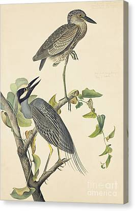 Yellow-crowned Night-heron Canvas Print