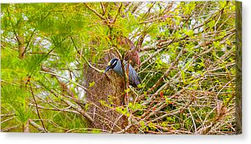 Yellow-crowned Night Heron Nyctanassa Canvas Print by Panoramic Images