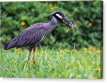 Yellow-crowned Night Heron With Crab Canvas Print by Luis Esteves