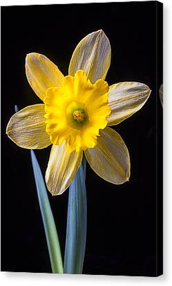 Yellow Daffodil Canvas Print by Garry Gay