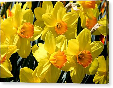 Yellow Daffodils Canvas Print by Menachem Ganon
