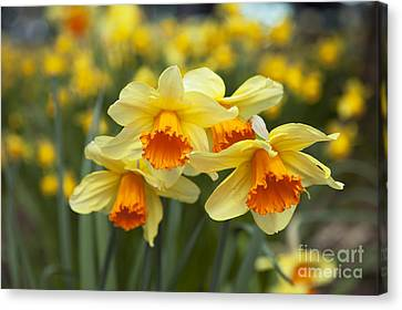 Yellow Daffodils Canvas Print by Peter French