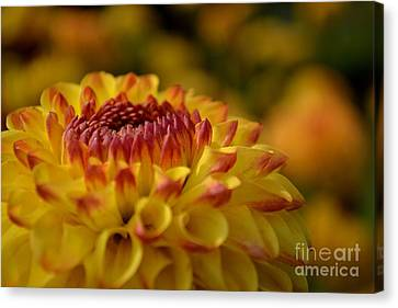 Yellow Dahlia Red Tips Canvas Print