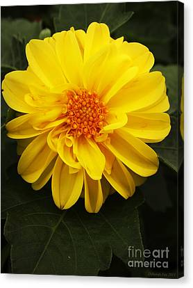Yellow Dahlias Canvas Print
