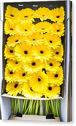 Yellow Daisies Canvas Print by Tom Gowanlock