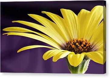 Barbara Smith Canvas Print - Yellow Daisy by Barbara Smith