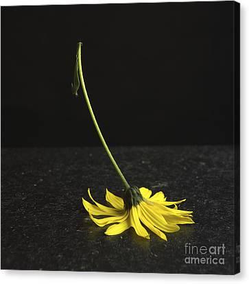 Yellow Daisy Canvas Print by Bernard Jaubert