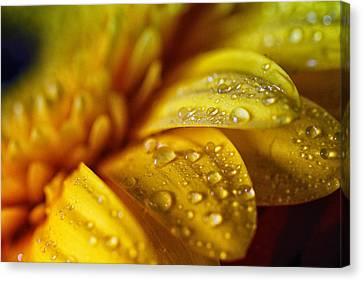 Yellow Daisy Drizzle Canvas Print