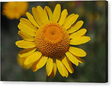 Canvas Print featuring the photograph Yellow Daisy  by Robert  Moss