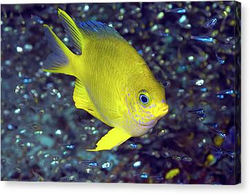 Yellow Damselfish Surrounded Canvas Print by Jaynes Gallery