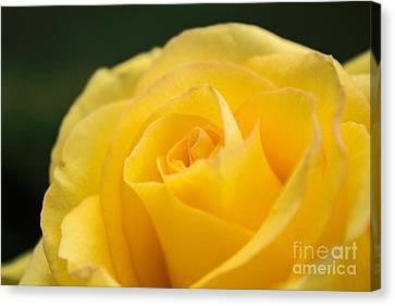 Yellow Delight Canvas Print by Arlene Carmel
