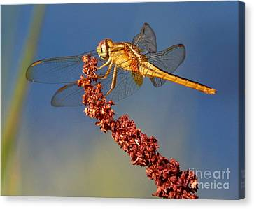 Yellow Dragonfly On Brown Reed Canvas Print by Carol Groenen