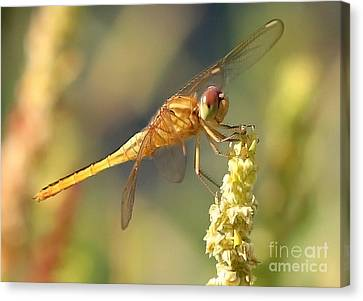 Yellow Dragonfly On Yellow Reed  Canvas Print by Carol Groenen