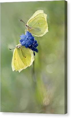 Yellow Duet Canvas Print