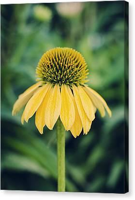 Yellow Echinacea Canvas Print