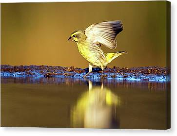 Yellow-eyed Canary Landing At Water Canvas Print by Peter Chadwick