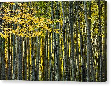 Yellow Fall Birch Leaves Against An Canvas Print by Joel Koop