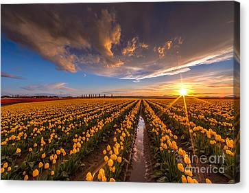 Yellow Fields And Sunset Skies Canvas Print by Mike Reid