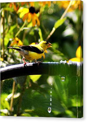 Yellow Finch With A Water Leak Canvas Print by B Wayne Mullins