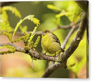 Yellow Finch With Young Seeds Canvas Print by Michael Qualls