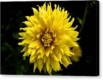 Yellow Flower Canvas Print by Matt Harang