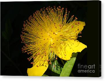 Yellow Flower Canvas Print by Nur Roy