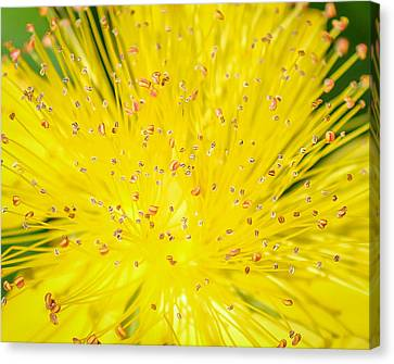 Canvas Print featuring the photograph Yellow Flower  by Trace Kittrell