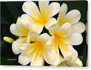 Canvas Print featuring the photograph Clivia Yellow Flowers by Jeannie Rhode