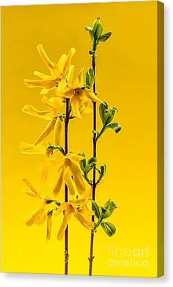 Yellow Forsythia Flowers Canvas Print
