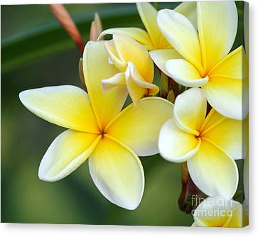Yellow Frangipani Flowers Canvas Print
