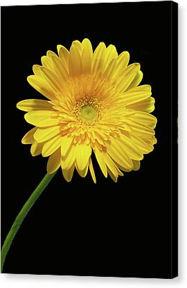 Yellow Gerber Daisy Canvas Print by Joan Powell